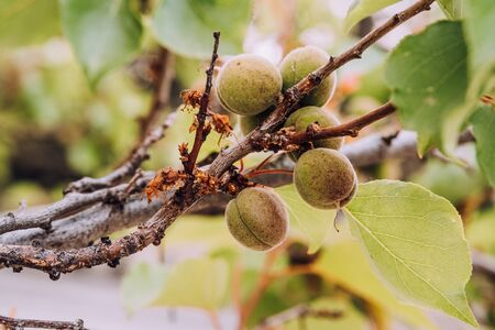 Unripe green apricot fruits growing on tree on blurry nature background. Young, green almonds on tree branch. Stok Fotoğraf