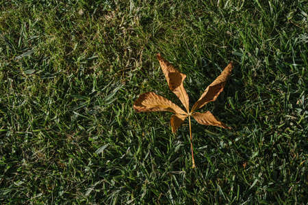 One dry brown plane tree leaf on green grasses. Platanus orientalis, Old World Sycamore, Oriental Plane. Autumn concept.