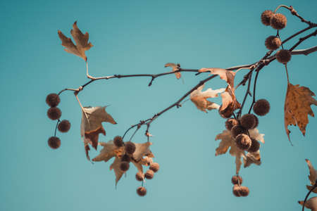 Brown color plane tree leaves and fruits on blue sky background. Platanus orientalis, Old World Sycamore, Oriental Plane. Autumn concept.