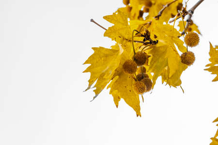 Gold color plane tree leaves isolated on white background. Platanus orientalis, Old World Sycamore, Oriental Plane. Autumn concept. Stok Fotoğraf