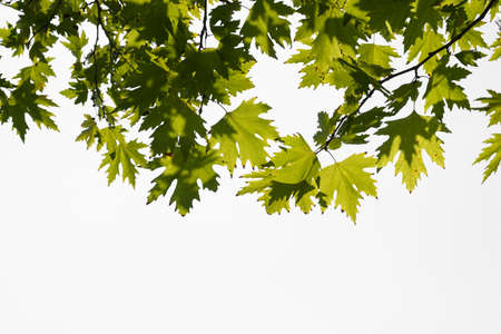 Green color plane tree leaves isolated on white background. Platanus orientalis, Old World Sycamore, Oriental Plane, large deciduous tree with globose head.