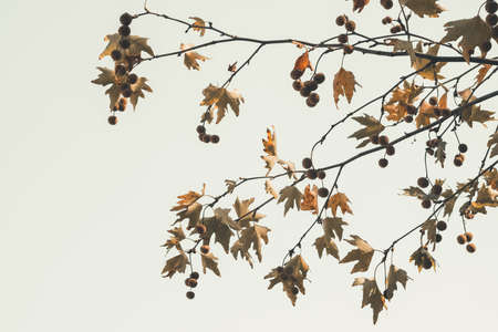 Brown color plane tree leaves and fruits on sky background. Platanus orientalis, Old World Sycamore, Oriental Plane. Autumn concept.