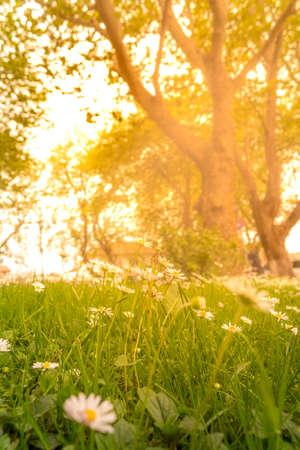 Beautiful white daisy flowers under the warming sunlight in a field. Stok Fotoğraf - 159607723