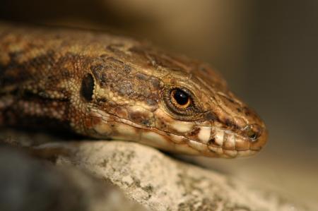 echse: Lizard - Lagartija - Echse Stock Photo