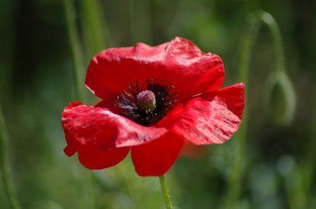 Little red poppy