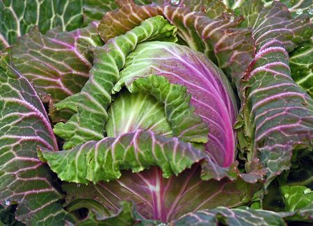 Green and purple winter cabbage Banco de Imagens - 2773613