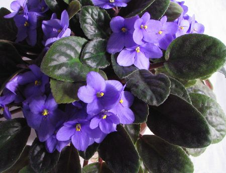 African violet Stock Photo
