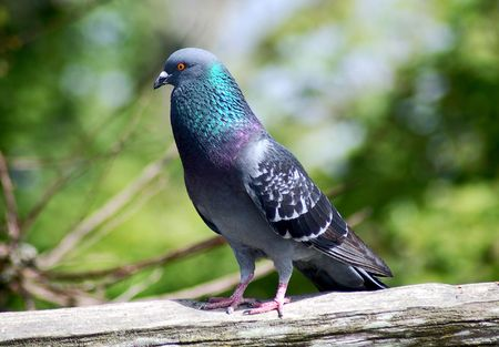 Pigeon sitting on wooden fence photo