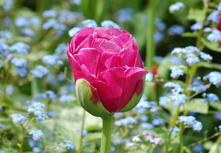 Tulip with blue flowers Stock Photo - 3061116