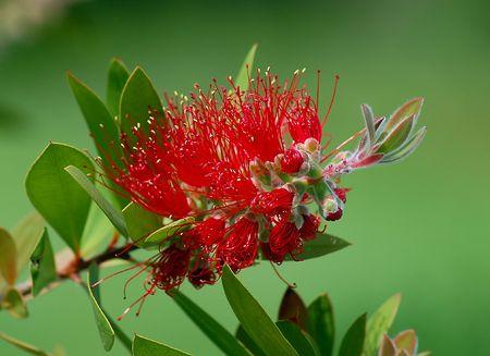 Red fuzzy flower Stock Photo - 3061115
