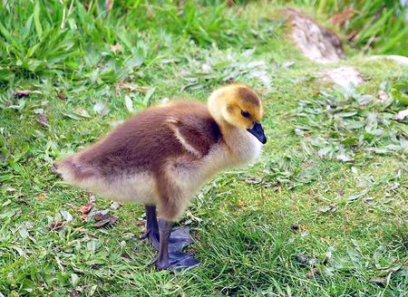 canada goose: Canada goose gosling shivering Stock Photo