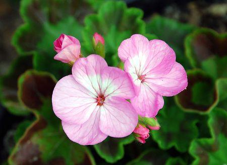 Pink petunias Stock Photo - 3112630