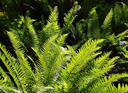 Ferns in sunlight Stock Photo - 3172207