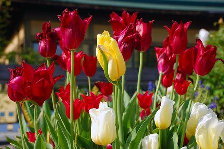 Red,yellow and white tulips Stock Photo - 3195031