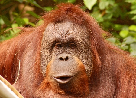 Orangutan face photo