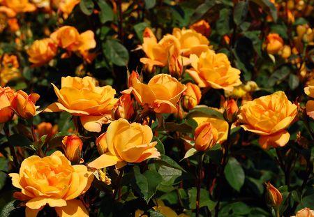 Peach coloured roses
