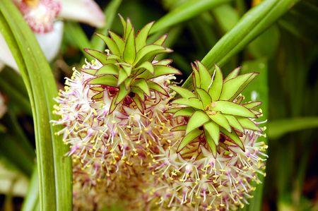 Pineapple lily flowers Zdjęcie Seryjne