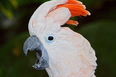 Pink Cockatoo screaming