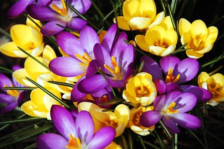Purple and yellow spring flowers
