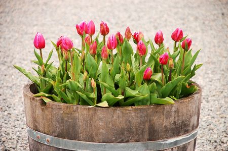 Pink tulips in barrel Stock Photo