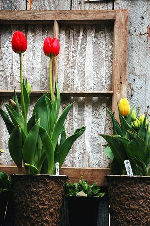 Tulips in window