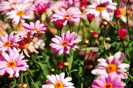 Pink flower garden Stock Photo