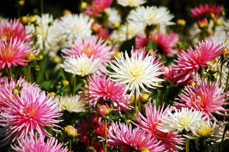 Pink and white dahlia flowers