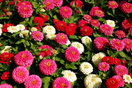 Pink, red and white zinnia flowers