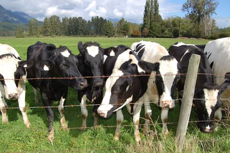 Herd of black and white cows Stock Photo