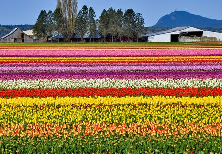 row: Colorful tulip farm Stock Photo