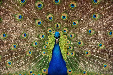 Proud peacock displaying tail feathers Stock Photo
