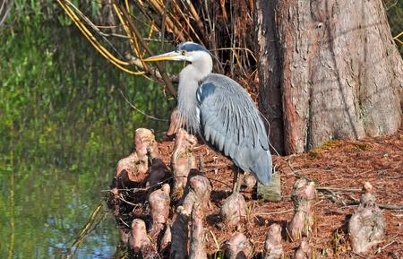 Blue Heron photo