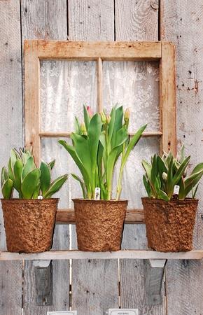 Tulip pots on windowsill Stock Photo - 9350949