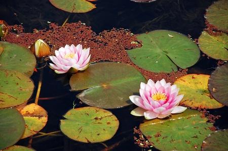 연못에 핑크 waterlilies