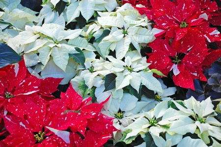 Bunches of white and red christmas poinsettias photo