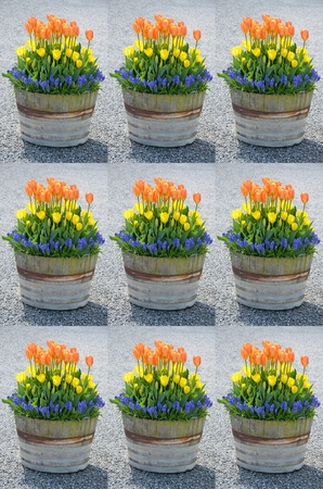 Collage of colorful tulips in wooden barrel planter photo