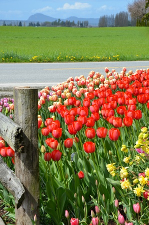 Field of tulips next to highway Stock Photo - 13336324