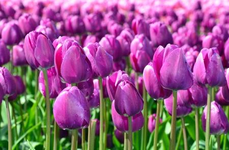 Purple field of blooming spring tulips photo
