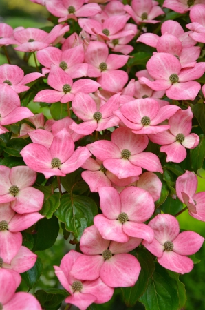 Pink kousa dogwood flowers in full bloom