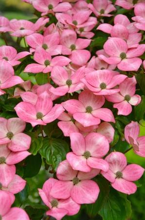 Pink kousa dogwood flowers in full bloom
