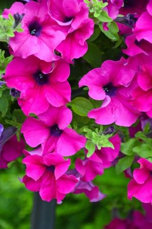 Beautiful pink petunias in full bloom Stock Photo - 14399433