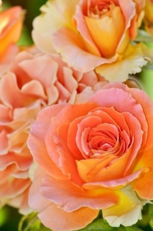 Orange hybrid tea rose in full bloom photo