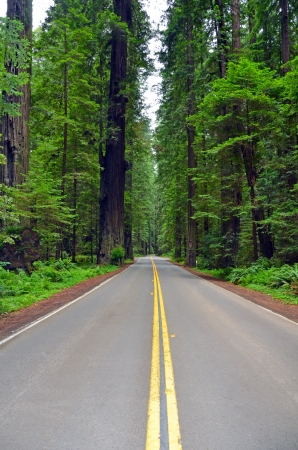 Highway running through the California redwood forest photo