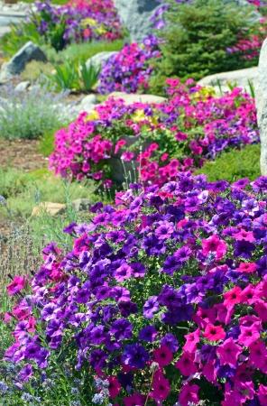 Colorful petunia garden in summer Stock Photo