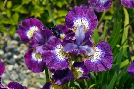 Purple iris flowers in full bloom