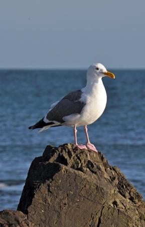 Seagull staande op de rots met de oceaan op de achtergrond Stockfoto