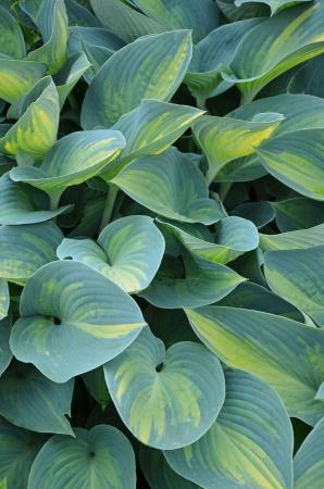 Lush green hosta plant leaves