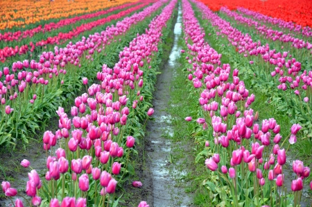 muddy: Colorful rows of tulips in muddy fields Stock Photo