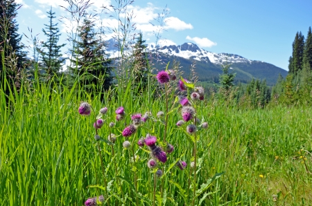 Field of purple thistle flowers with snowy mountain range in background