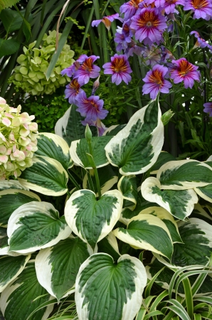 hosta: Beautiful hosta plant and purple flowers in tropical garden Stock Photo